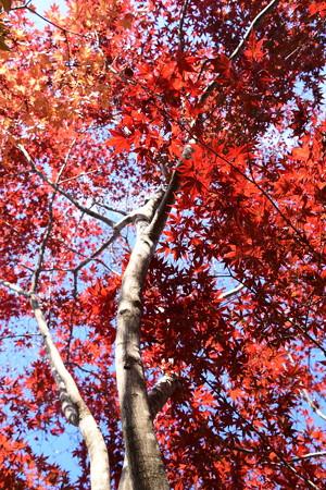 紫陽花園脇の紅葉