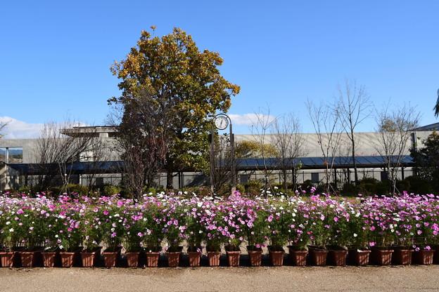 北山門脇の秋桜