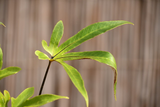 紅葉葉一つ葉(モミジバヒトツバ)
