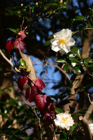 山茶花と色づいた蔦
