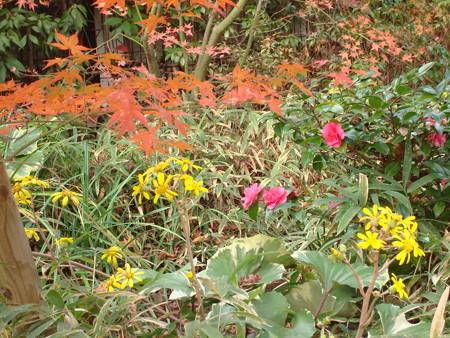 石蕗と山茶花と紅葉と~