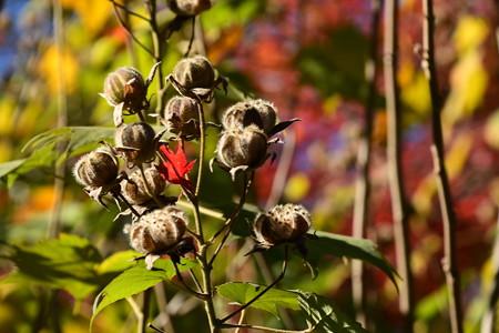 芙蓉の実と紅葉