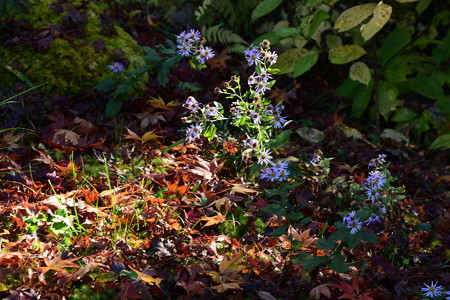 散り紅葉の中の深山嫁菜