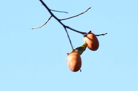 柿を啄む目白(メジロ)