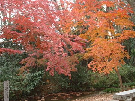 泉川沿いの紅葉
