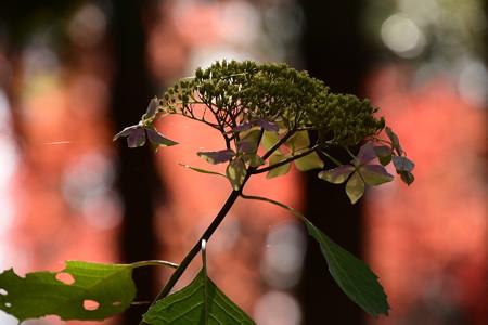 紅葉紫陽花