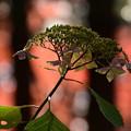 Photos: 紅葉紫陽花