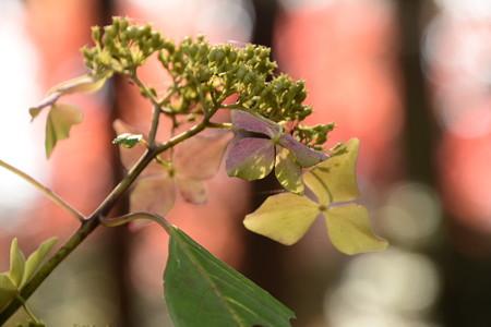 紅葉の中の紫陽花