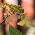 Photos: 紅葉の中の紫陽花