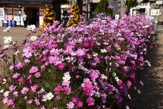 北山門脇の秋桜(コスモ)