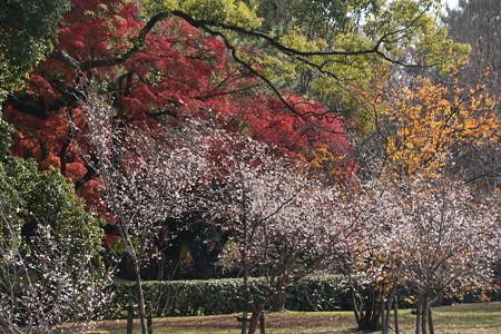 紅葉の前の十月桜(ジュウガツザクラ)