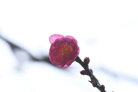 八重寒紅(ヤエカンコウ)