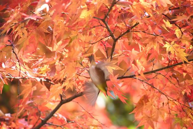 紅葉の中を飛ぶ