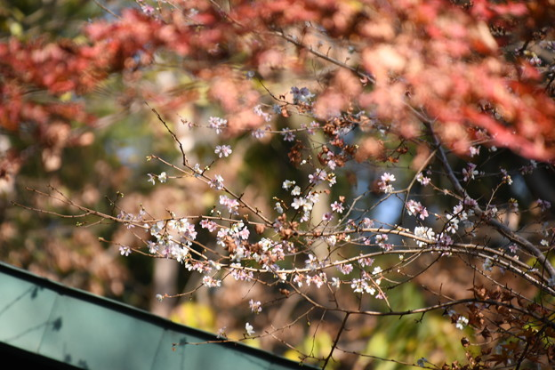 紅葉の前に咲く四季桜(シキザクラ)