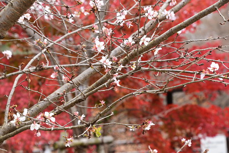 紅葉の前の冬桜(フユザクラ)