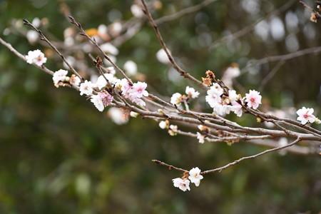 子福桜(コブクザクラ)