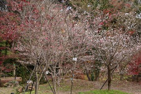 冬に咲く桜たち