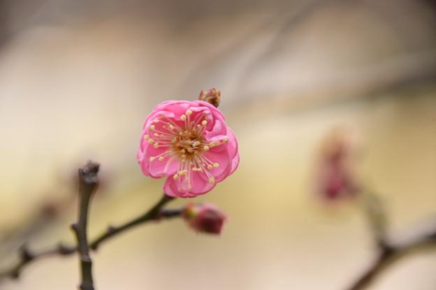 咲き始めた梅