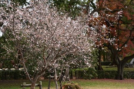 まだ満開の十月桜(ジュウガツザクラ)
