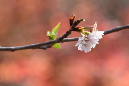 紅葉の前の子福桜(コブクザクラ)