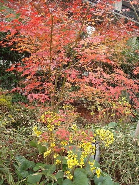 紅葉と石蕗