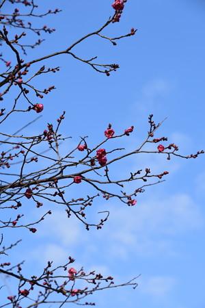 冬空に咲く紅梅