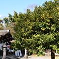 右近の橘(タチバナ)