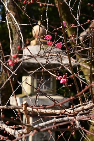 石灯籠前に咲く紅梅