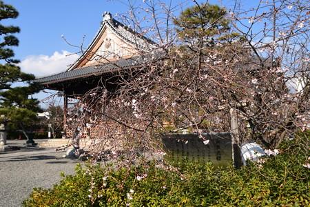 妙蓮寺の御会式桜(オエシキザクラ)