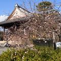 Photos: 妙蓮寺の御会式桜(オエシキザクラ)