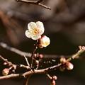 Photos: 堺町休憩所脇の白梅