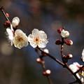 Photos: 宗像神社の白梅