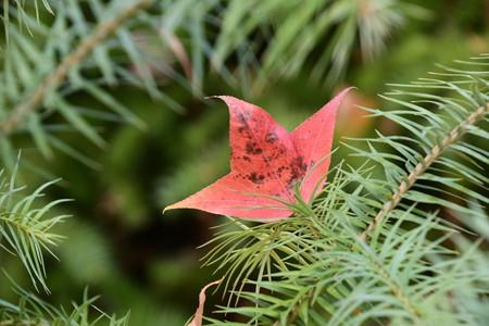 楓(フウ)の落ち葉