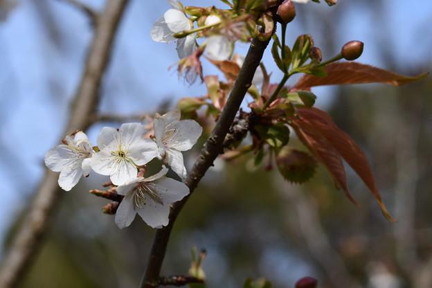 不断桜(フダンザクラ)