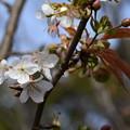 Photos: 不断桜(フダンザクラ)