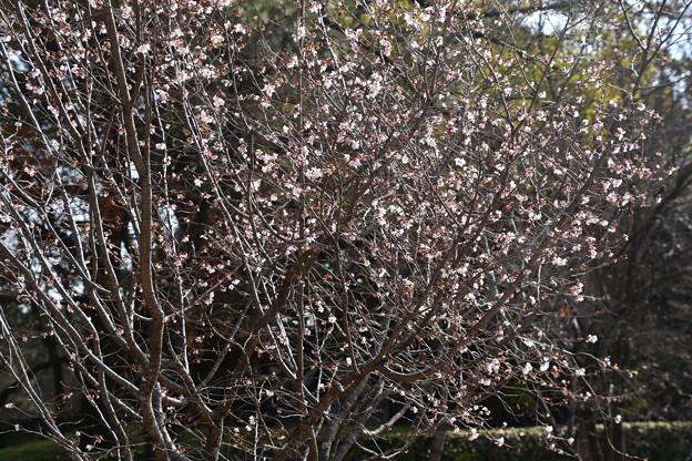 十月桜の燦めき