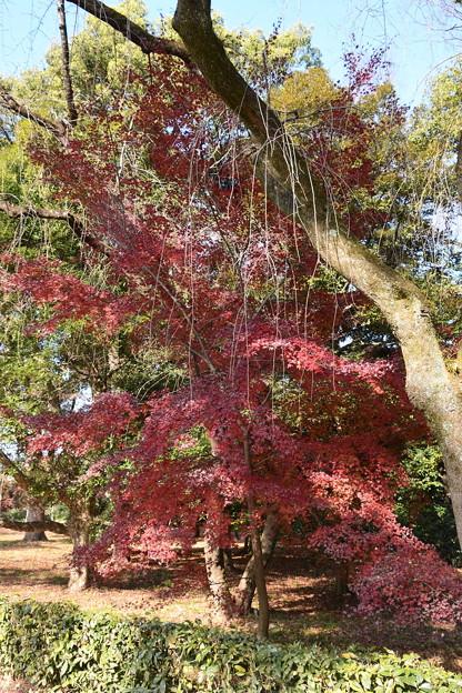 児童公園脇の紅葉