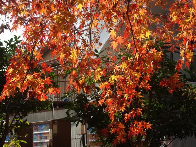 Photos: 御手洗三本杉脇の紅葉