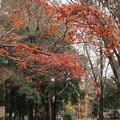 Photos: 糺の森の紅葉