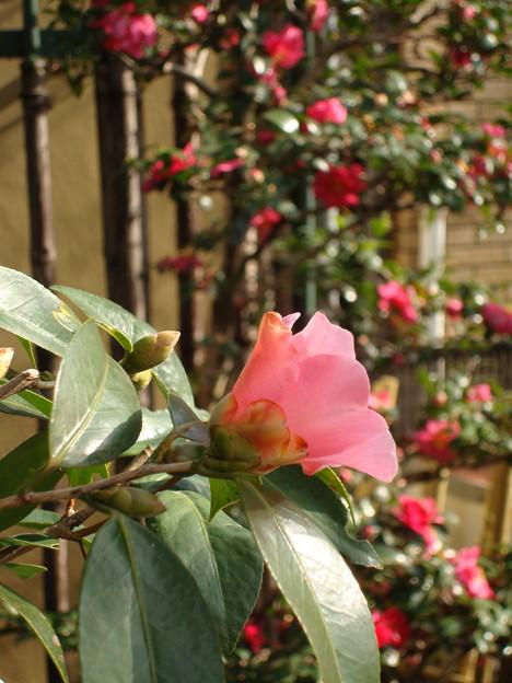 山茶花の前に咲く椿