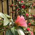 Photos: 山茶花の前に咲く椿