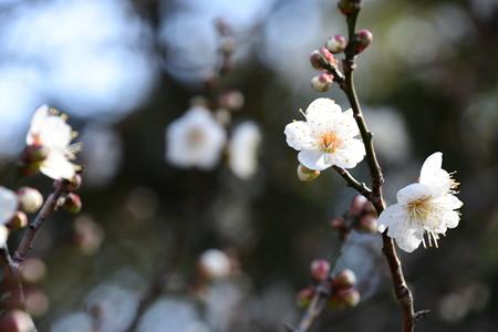 白梅の香り