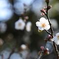 Photos: 白梅の香り