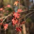 お正月の紅葉