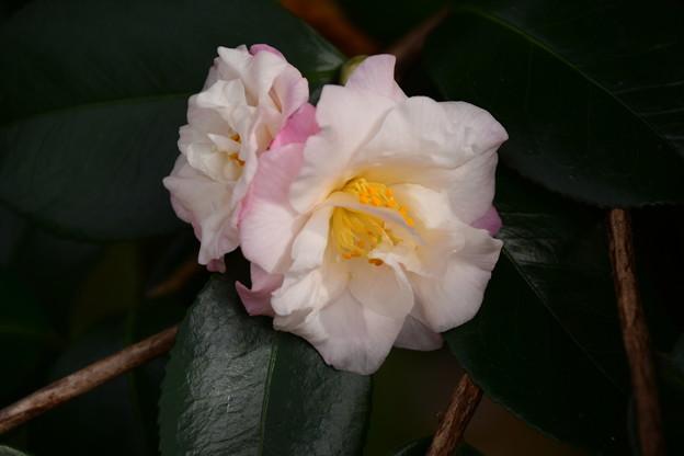 梅ヶ香(ウメガカ)