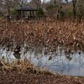 枯れ蓮の池