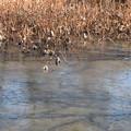 凍った蓮池