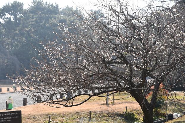 出水の小川脇の白梅