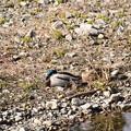 Photos: 真鴨のカップル 1