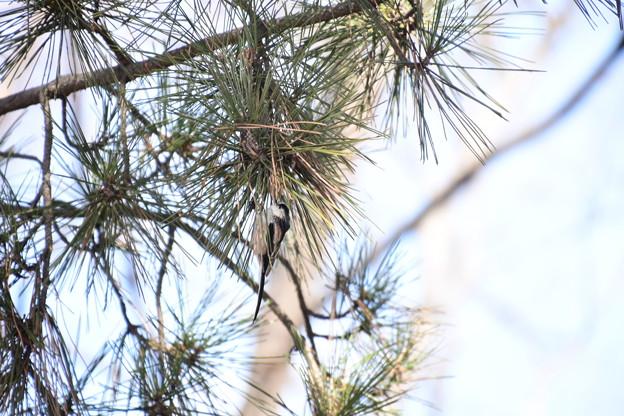 松の木に止まるエナガ